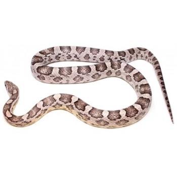 """Pantherophis guttatus """"Ghost"""" - Serpent des blés"""