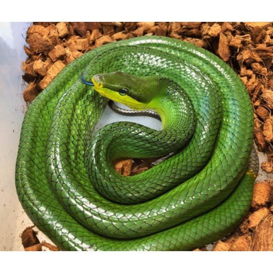 Gonyosoma oxycephalum - Serpent ratier à queue rouge