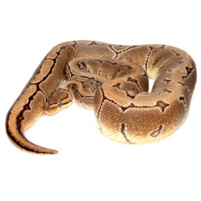 "Python regius ""Pinstripe"" - Python royal"