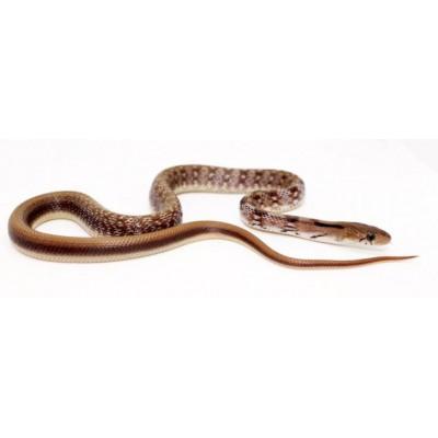 Coelognathus (Elaphe) helena - Serpent bijou