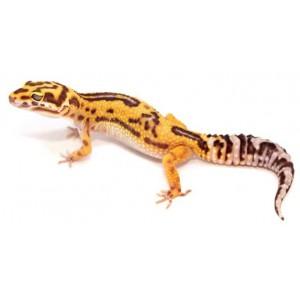 "Eublepharis macularius ""Tremper albinos broken reverse Stripe"" - Gecko léopard"