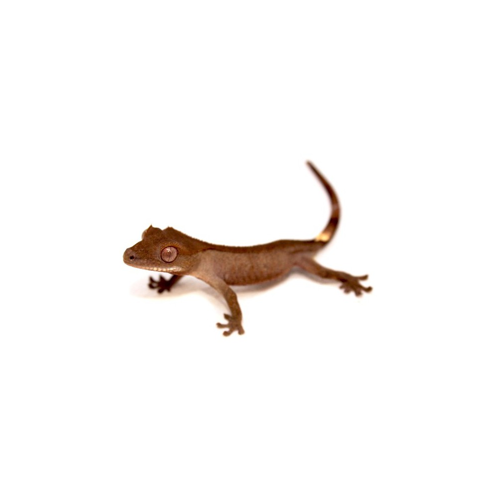 Correlophus ciliatus - Gecko à crête