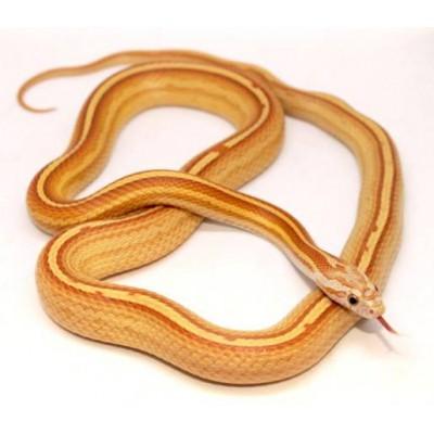 "Pantherophis guttatus ""Tessera Ultramel Motley Stripe"" - Serpent des blés"