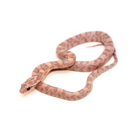 """Pantherophis guttatus """"Sunkissed Lavender Orchid"""" - Serpent des blés"""
