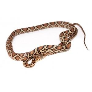 Pseudelaphe flavirufa - Serpent ratier d'Amérique centrale