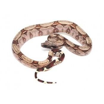 "Boa (constrictor) constrictor ""Guyana"" - Boa conctricteur"