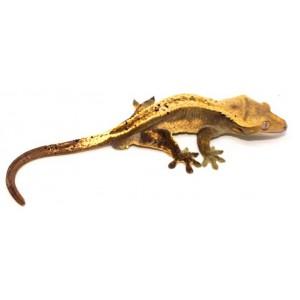 """Correlophus ciliatus """"Dalmatien pinstripe"""" - Gecko à crête"""