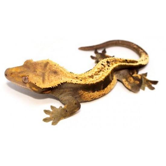 "Correlophus ciliatus ""Dalmatien pinstripe"" -Adulte- Gecko à crête"