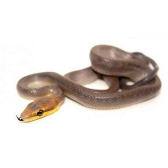 Gonyosoma oxycephalum chamoisé - Serpent ratier à queue rouge