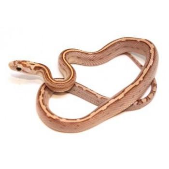 """Pantherophis guttatus """"Amber Stripe"""" - Serpent des blés"""