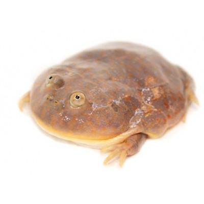 Lepidobatrachus laevis - Grenouille de Budgett