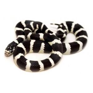 Lampropeltis getulus californiae Désertique - Serpent roi de Californie