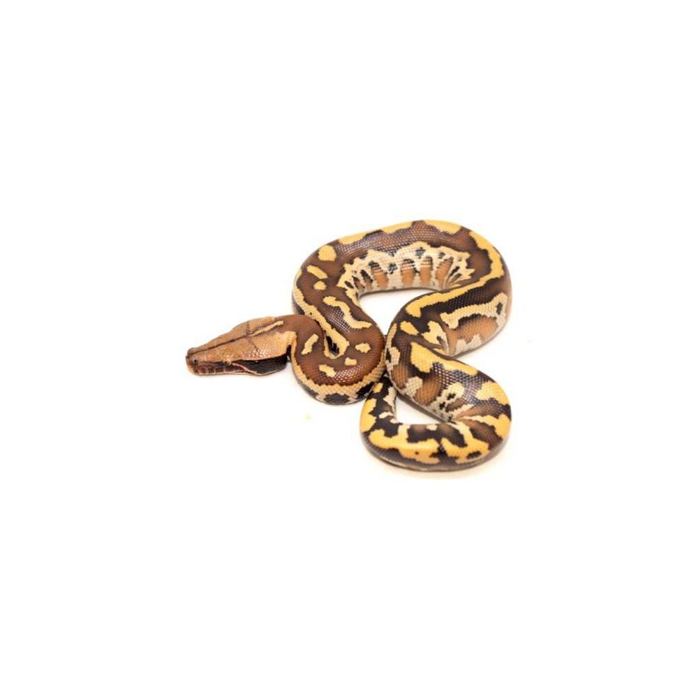 "Python brongersmai ""Bangka"" - Python malais"