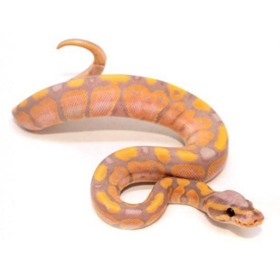 "Python regius ""Coral Glow"" - Python royal"