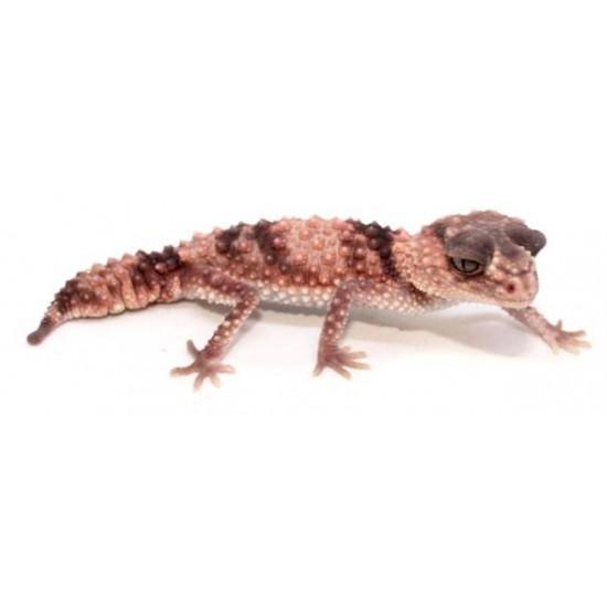 Nephrurus wheeleri cinctus - Gecko à queue bossue annelé