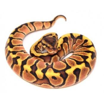 "Python regius ""Fire hidden gene Woma"" - Python royal"