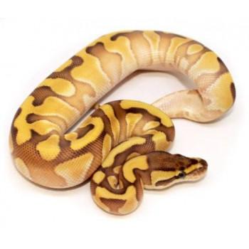 "Python regius ""Lesser Enchi"" - Python royal"