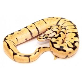 "Python regius ""Bumblebee"" - Python royal"
