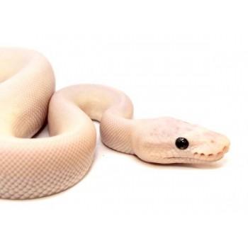 "Python regius ""Super Mojave Ghost"" - Python royal"