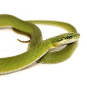 Rhadinophis (Gonyosoma) prasinum - Serpent ratier vert
