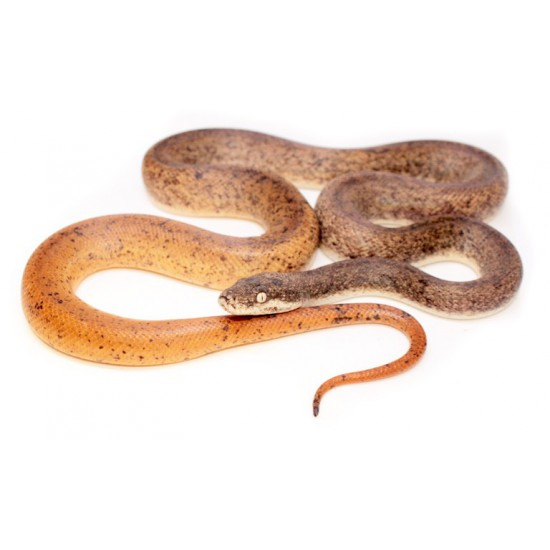 Liasis mackloti savuensis - Python de Savu