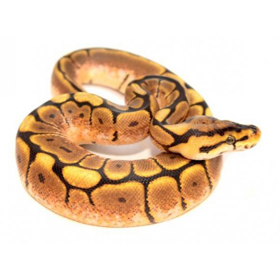 "Python regius ""Spider"" - Python royal"