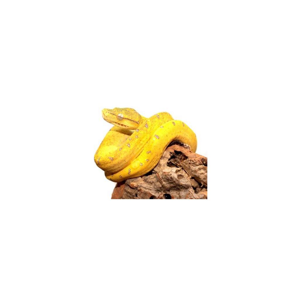 "Morelia viridis ""Aru"" - Python vert"