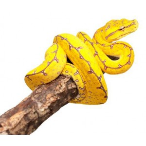 "Morelia viridis ""Lereh"" - Python vert"