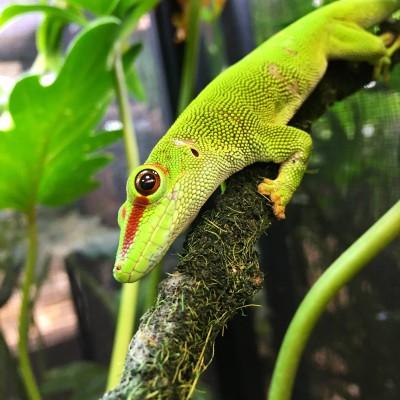 Phelsuma grandis - Gecko géant de Madagascar