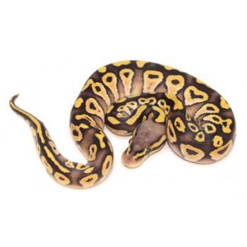 """Python regius """"Mojave Pastel"""" - Python royal"""