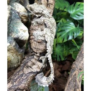 Ptychozoon kuhli - Gecko volant
