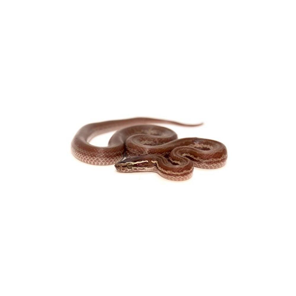 Boaedon (Lamprophis) fuliginosus - Serpent des maisons