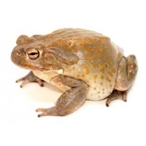 Incilius (Bufo) alvarius - Crapaud du Colorado
