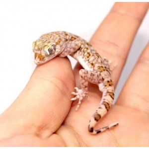 Stenodactylus sthenodactylus - Gecko élégant
