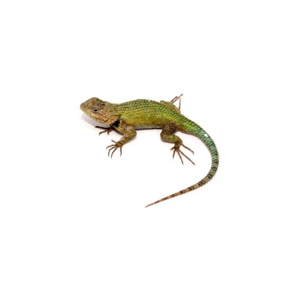 Sceloporus malachiticus - Lézard vert épineux malachite