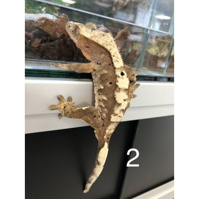 "Correlophus ciliatus ""Harlequin Dalmatien"" ADULTE - Gecko à crête"