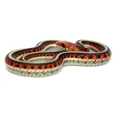Thamnophis sirtalis infernalis - Serpent jarretière de Californie