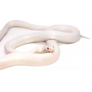 """Pantherophis guttatus """"Snow"""" - Serpent des blés"""