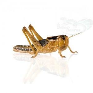 Criquets migrateurs (Locusta migratoria)