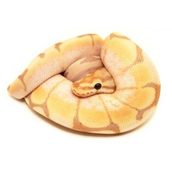 "Python regius ""Banana spider"" - Python royal"