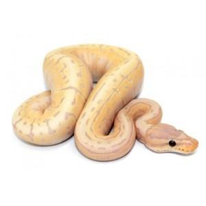 "Python regius ""Banana pinstripe"" - Python royal"