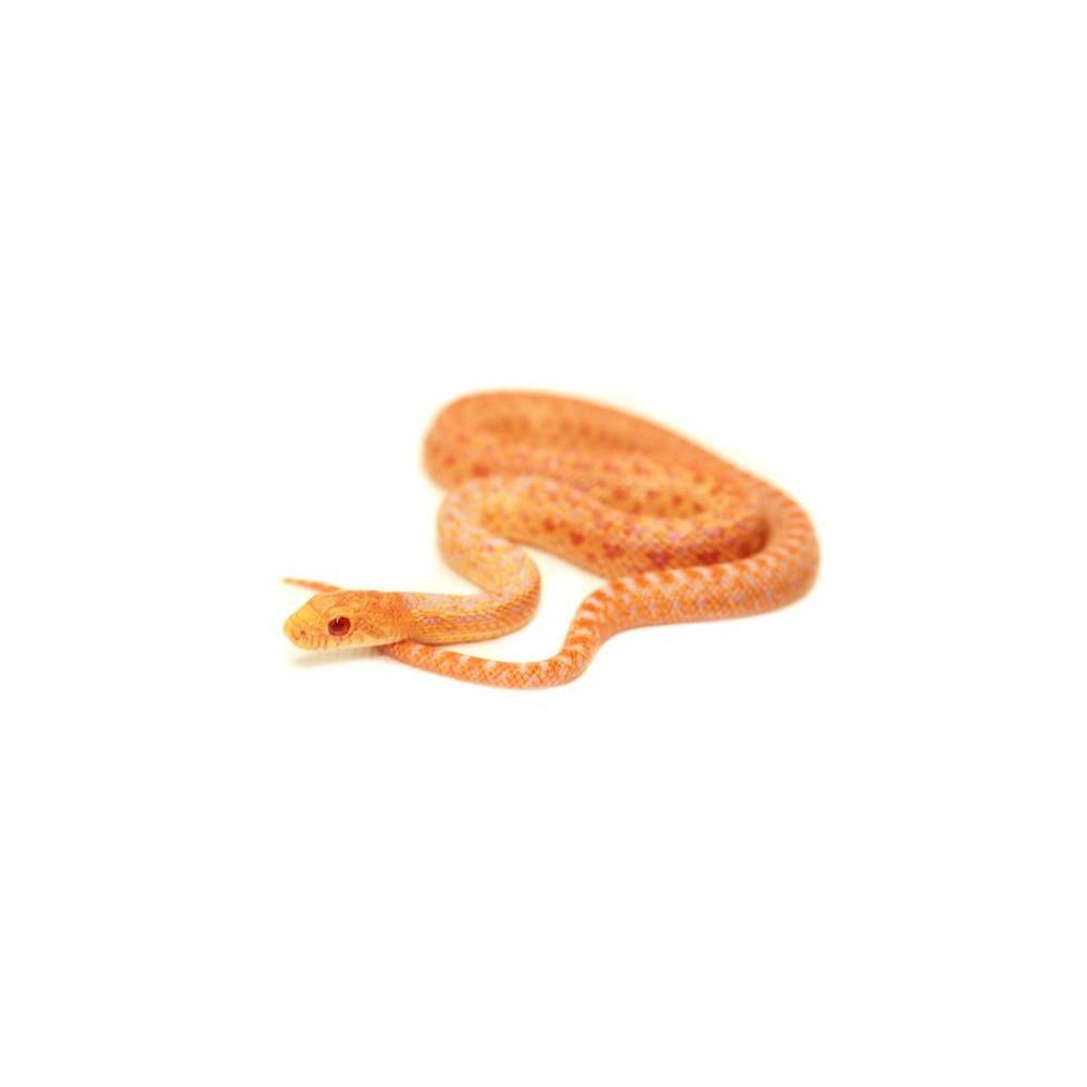 """Pituophis catenifer annectens """"Albinos"""" - Serpent taureau"""