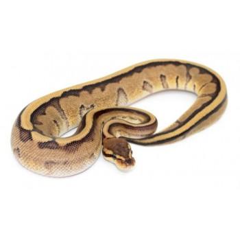 "Python regius ""Genetic stripe"" - Python royal"
