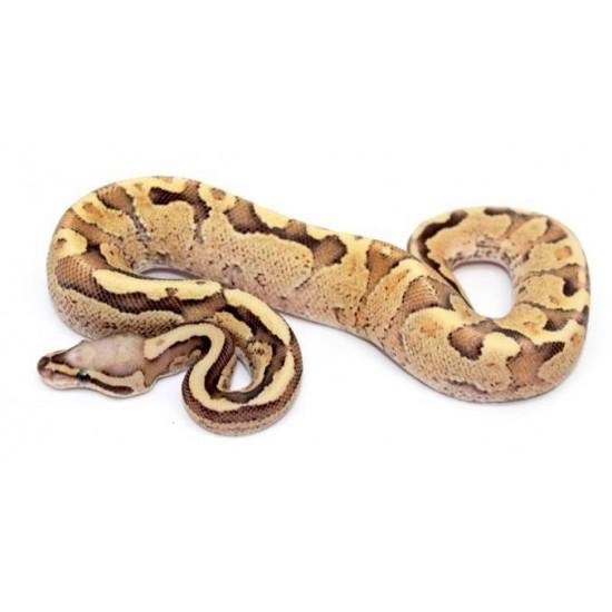 "Python regius ""Vanilla cream"" - Python royal"