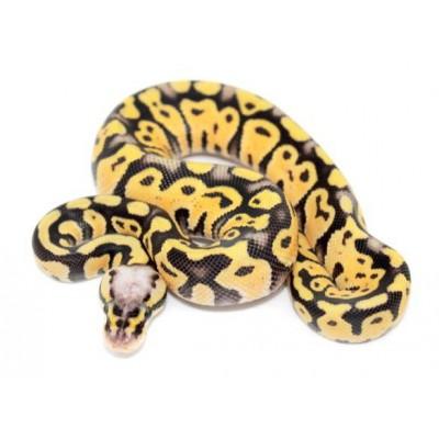 "Python regius ""Super pastel"" - Python royal"