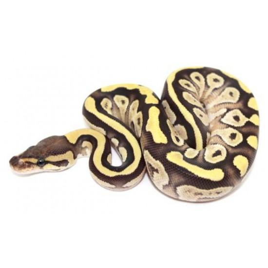 "Python regius ""Fire Mojave"" - Python royal"