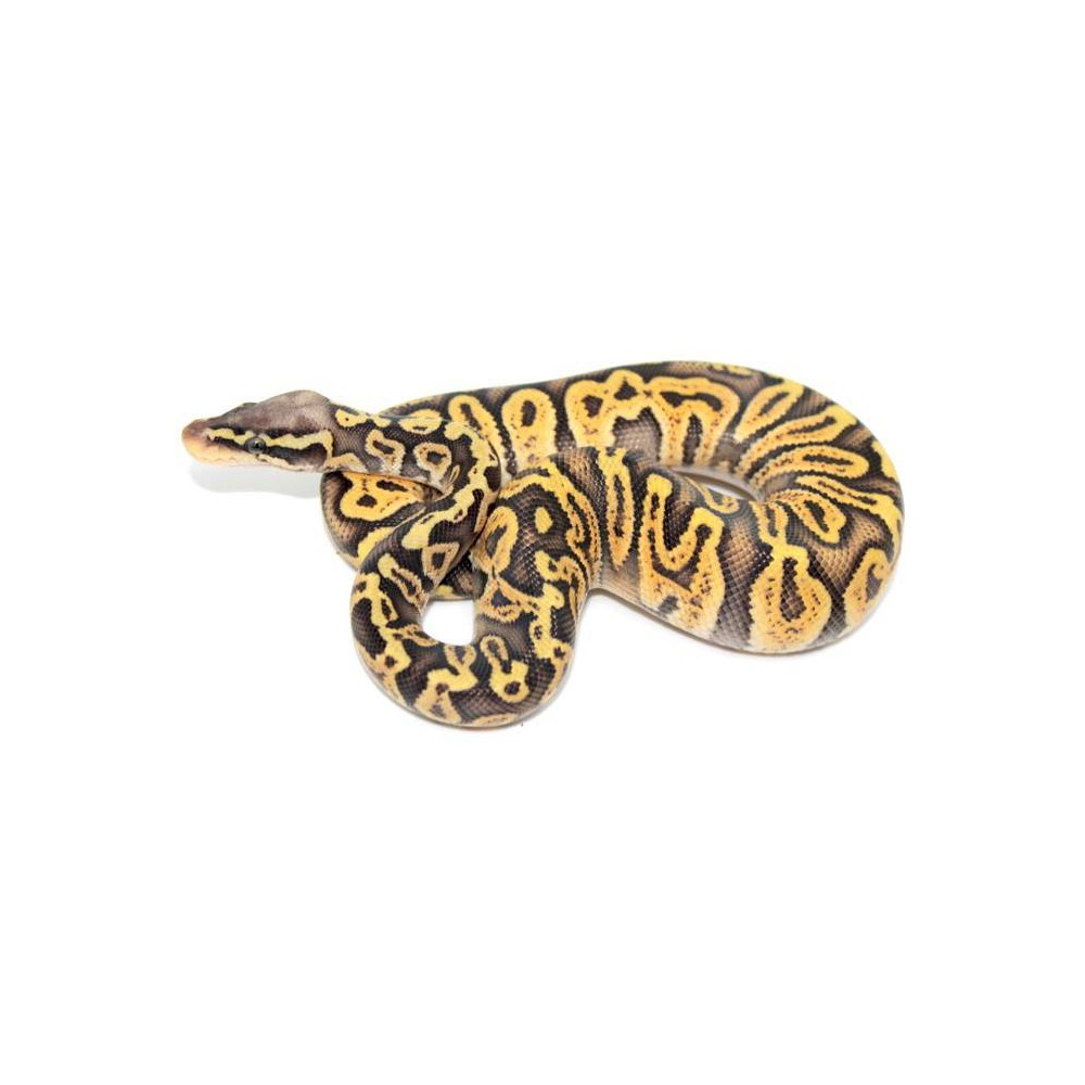 "Python regius ""Super pastel GHI"" - Python royal"
