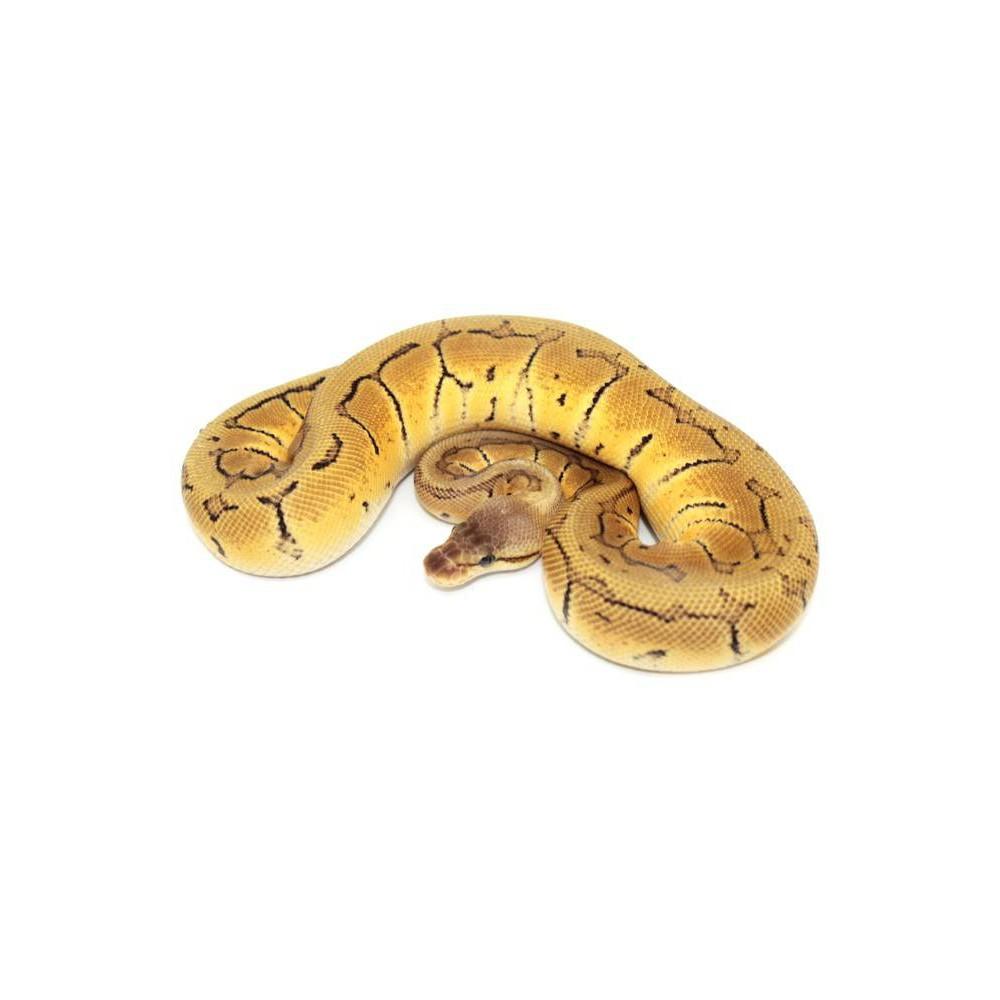 "Python regius ""Lemon Blast"" - Python royal"