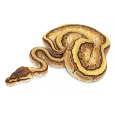 "Python regius ""Lesser Pinstripe"" - Python royal"