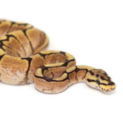 "Python regius ""Fire Spider sunrise"" - Python royal"